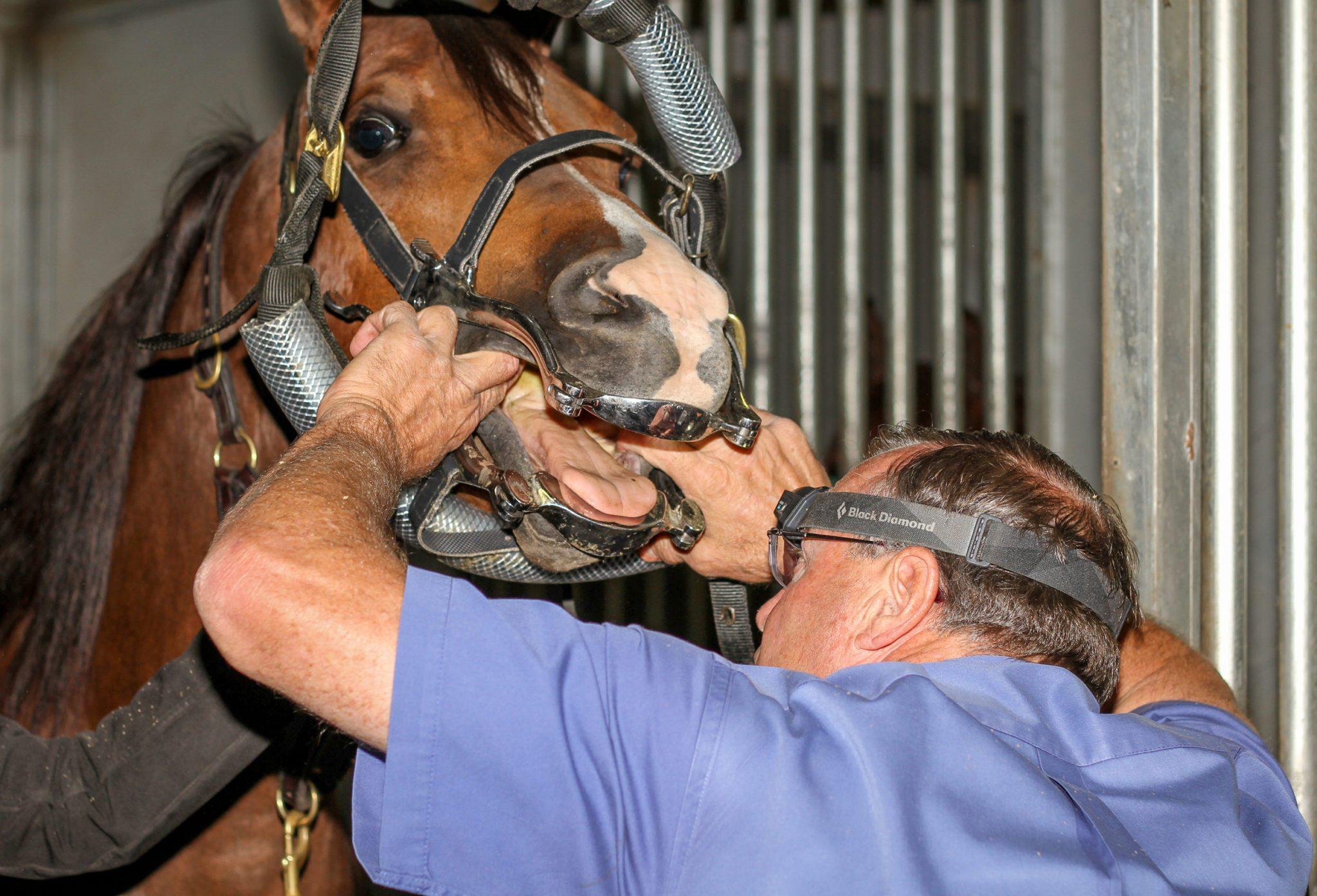 preparing for horse dental work